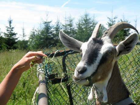 a happy goat living on a small-scale farm